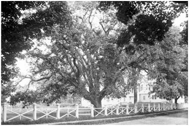 The Lafayette Elm in Lafayette Park on Storer Street years before it was lost to Dutch Elm decease in the early 1970s