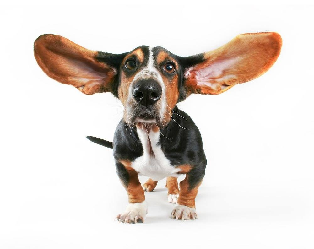 dog with big ears